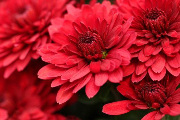 chrysanthemums 01