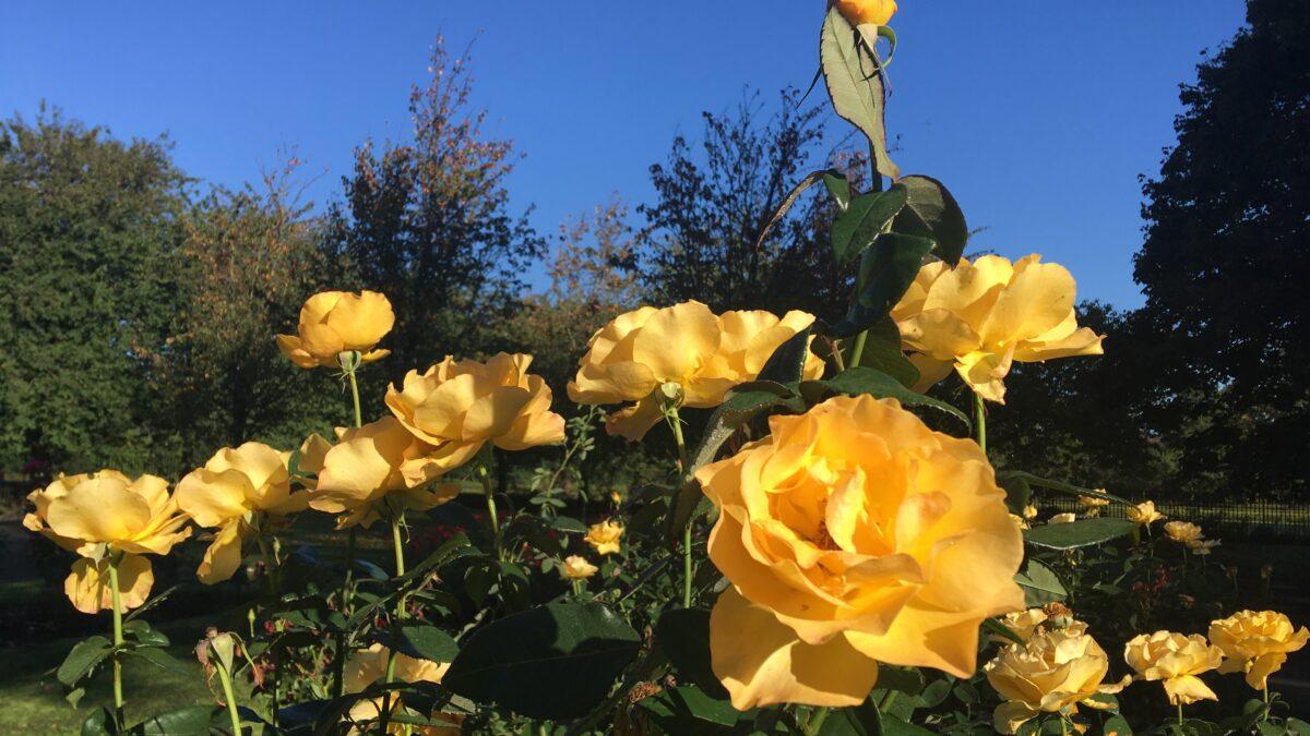 Φυτέψτε παντού τριανταφυλλιές!