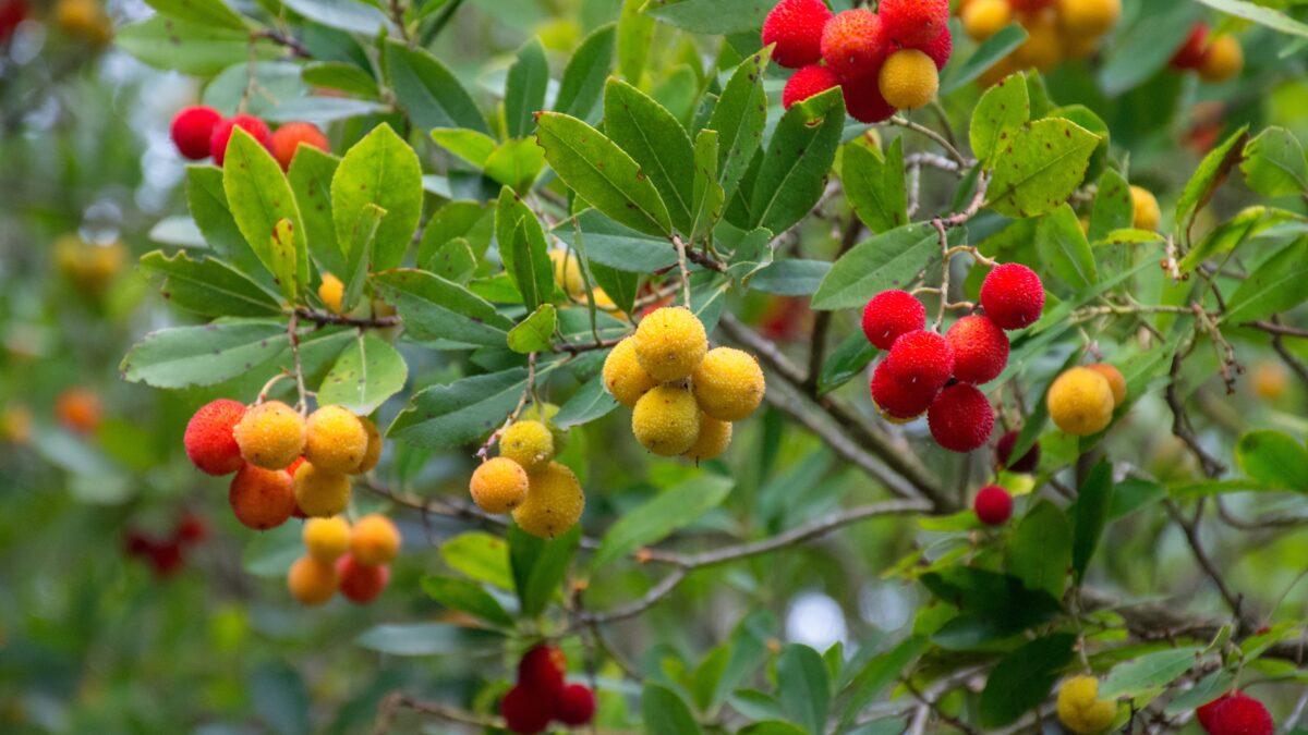 Κουμαριά: Το δέντρο με τις φράουλες!