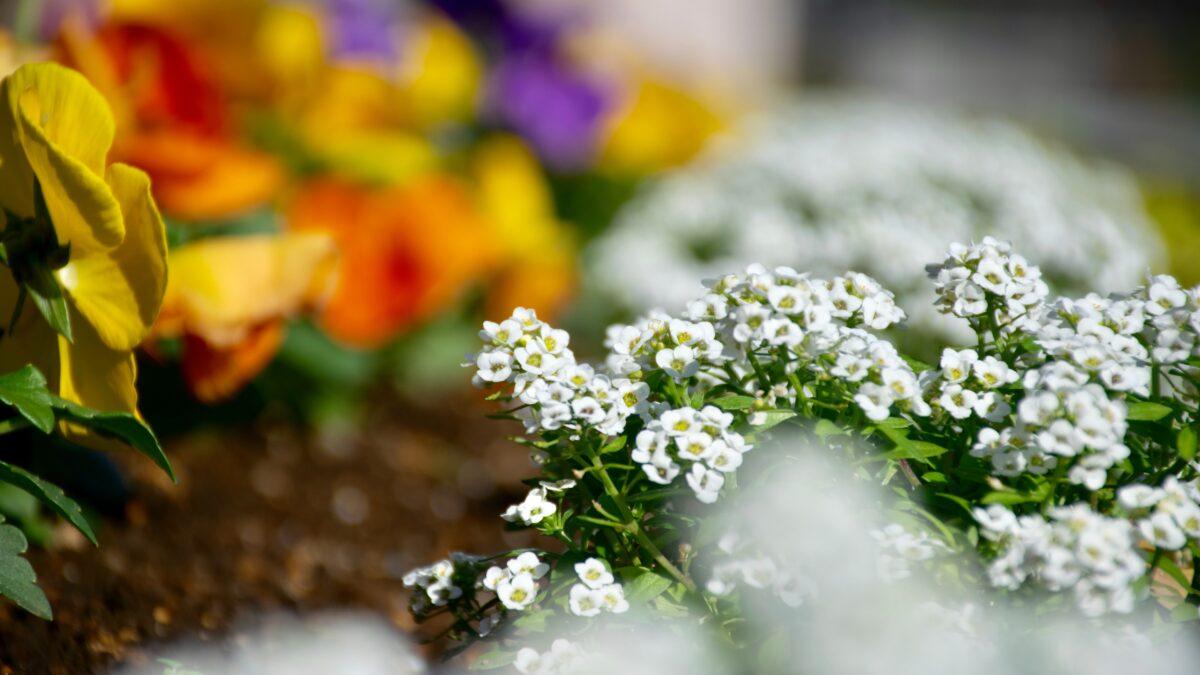Άλυσσο και μπέλλα: Ανθισμένα εποχιακά σε γλάστρες και παρτέρια