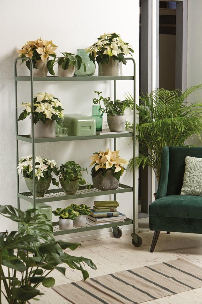 Τα ανθισμένα φυτά της ποϊνσέττιας συνδυάζονται αρμονικά με τα πράσινα φυτά εσωτερικού χώρου, δημιουργώντας για όμορφη ατμόσφαιρα στο σαλόνι.