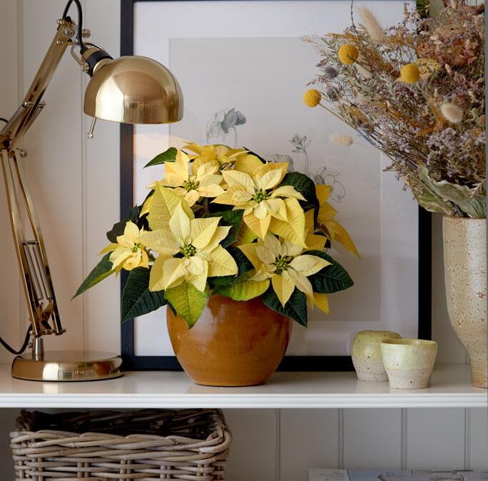 Στολίστε το σπίτι με τα ανθισμένα φυτά της ποϊνσέττιας