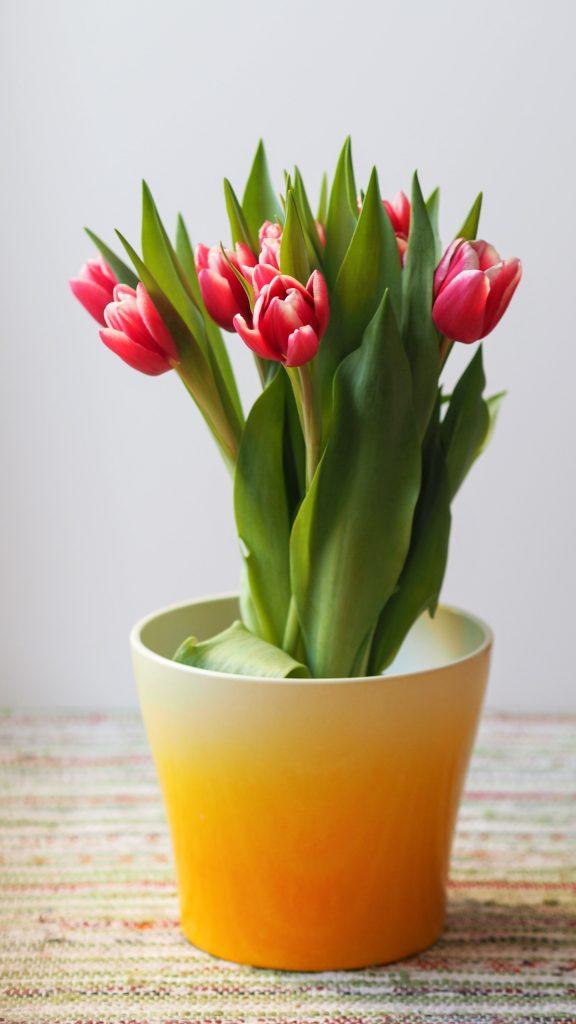 Η τουλίπα διαθέτει πολλές ποικιλίες με φανταστικά χρώματα. Φυτέψτε τους βολβούς της και απολαύστε πανέμορφες εικόνες μέσα και έξω από το σπίτι.