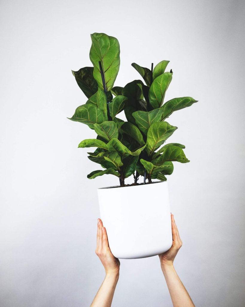 Ο φίκος λυράτα μεγαλώνει πολύ και   και ξεπερνά τα 2.00 μ. Αν θέλετε τα μεγάλα του φύλλα, αλλά πιο περιορισμένη ανάπτυξη φυτού, αναζητήστε την ποικιλία bambino, που δεν ξεπερνά εύκολα το 1.00 μ.