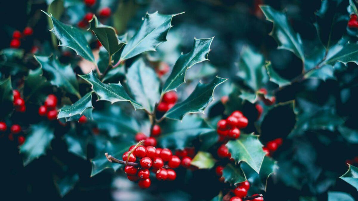 Ίλεξ: Κόκκινοι καρποί σε πράσινο φόντο