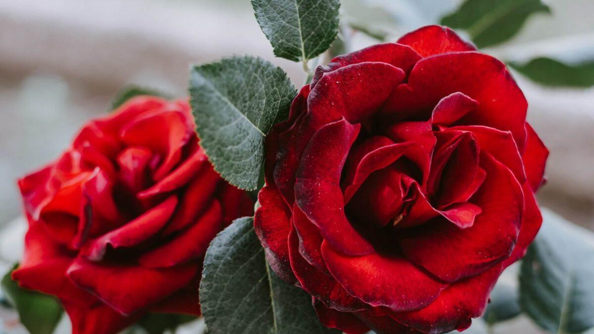 Τριανταφυλλιές: Καιρός για κλάδεμα