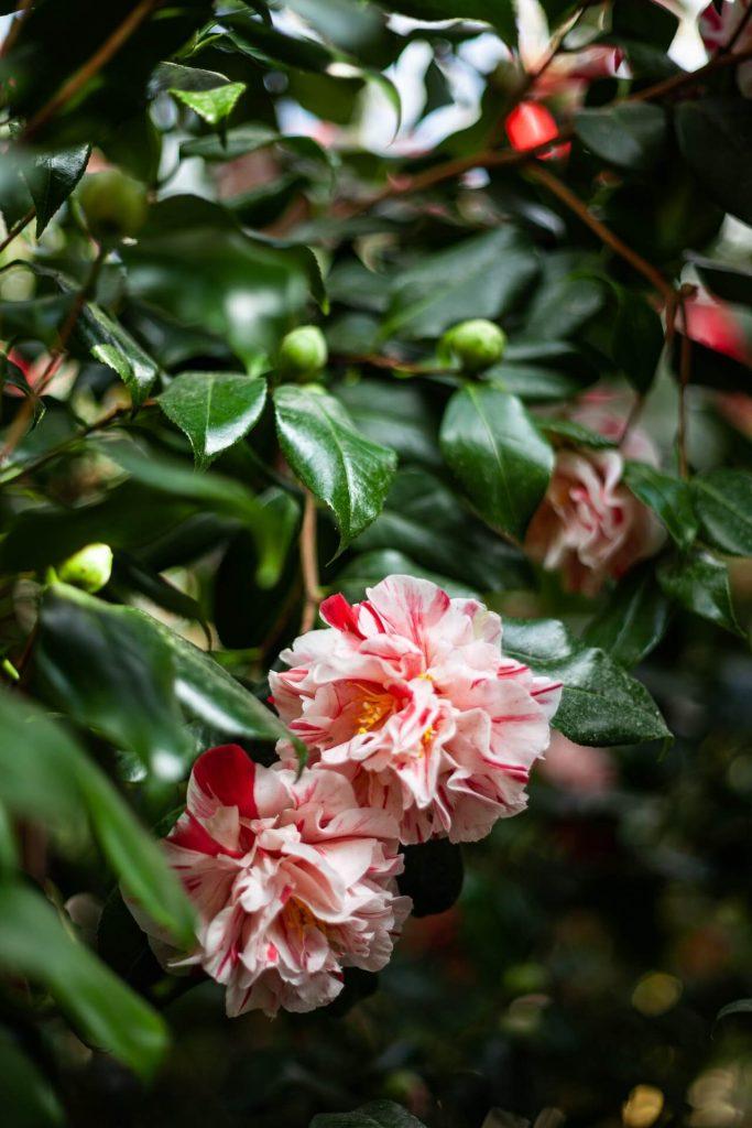 Σήμερα έχουν δημιουργηθεί βελτιωμένα υβρίδια από διασταύρωση παραδοσιακών ποικιλιών, που παράγουν άνθη με πρωτότυπους χρωματισμούς στα πέταλα, ενώ έχουν αναπτύξει και διάφορες αντοχές σε συγκεκριμένες συνθήκες. Ρωτήστε τον φυτωριούχο που εμπιστεύεστε και μάθετε περισσότερα για την καμέλια που θα υιοθετήσετε.