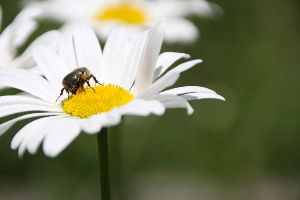Η άγρια μαργαρίτα (Anthemis chia της οικογένειας Asteraceae) ανθίζει από τον Φεβρουάριο έως τον Απρίλιο και θα τη συναντήσετε σε ηλιόλουστα μέρη, από βραχώδεις δασικές τοποθεσίες μέχρι ανοιχτές πεδιάδες,  από καλλιεργούμενα χωράφια μέχρι χέρσα εδάφη.