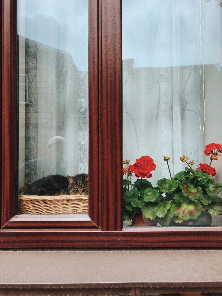 Μέσα στο σπίτι, πίσω από ένα παράθυρο τα γεράνια ανθίζουν!