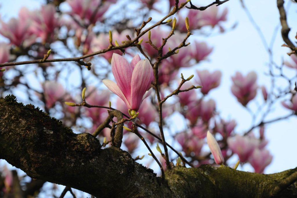 Η Μανόλια σουλατζιάνα είναι δέντρο, όπως και η στελλάτα. Αν και αποχτούν θαμνώδη μορφή, εξελίσσονται σε επιβλητικά δέντρα με τη βοήθεια κατάλληλων κλαδεμάτων.