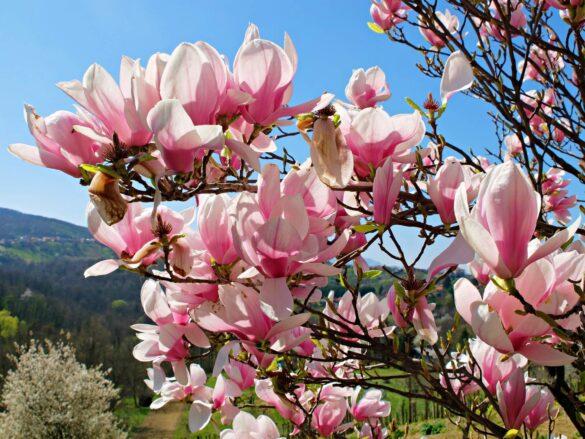 magnolies 05