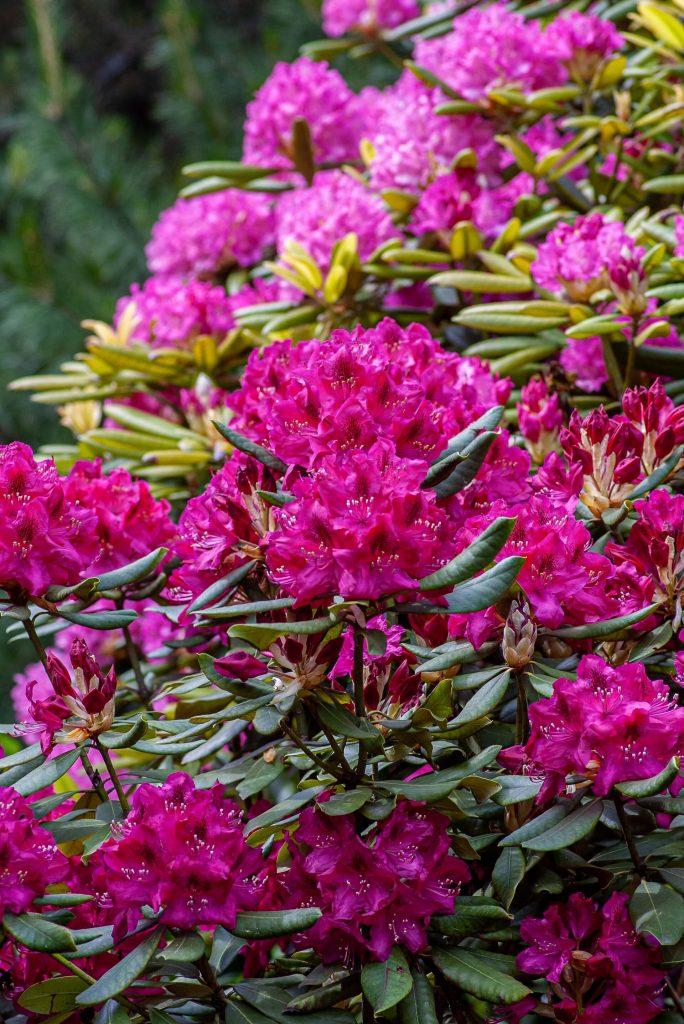 Τα ροδόδενδρα ταιριάζουν απόλυτα με τις φυλλοβόλες μανόλιες.