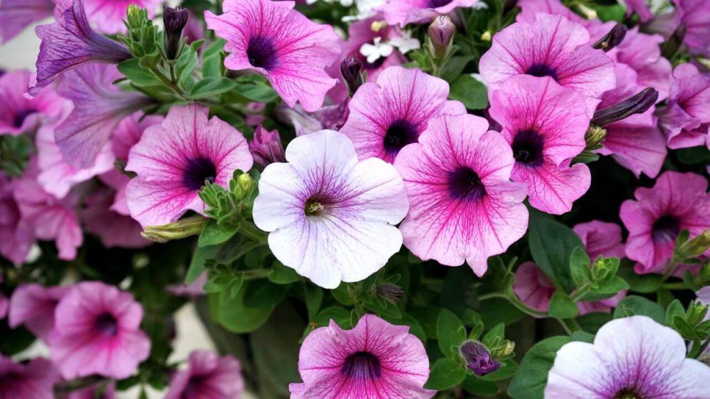 Ποικιλίες με απλά και σχετικά μικρά άνθη είναι από τις πλέον ανθεκτικές σε διάφορες καταστάσεις, όπως ήλιο, ημισκιά, βροχή, ζέστη και αέρα.