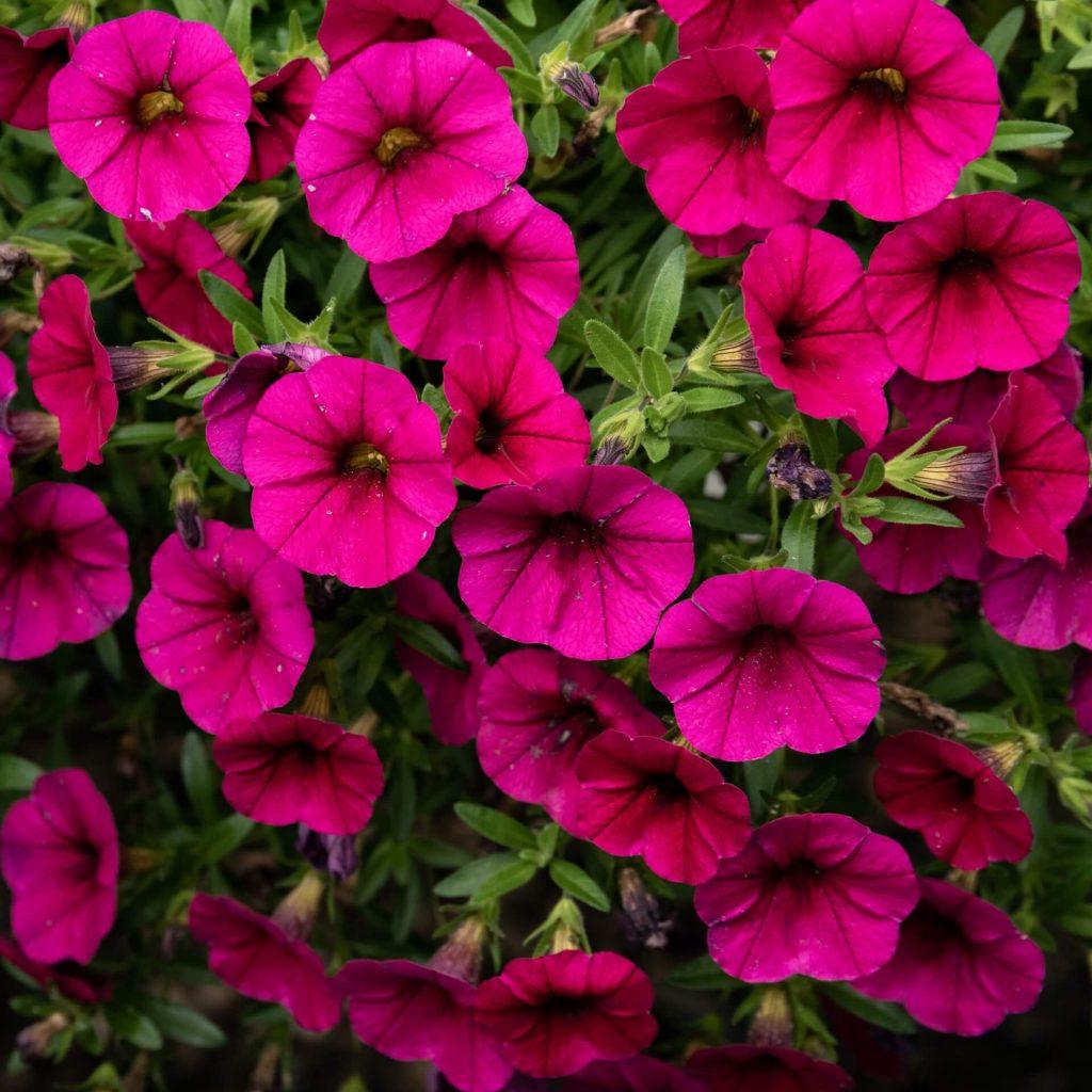 Υπέροχο φούξια χρώμα σε πέταλα πετούνιας με μικρά σχετικά άνθη.