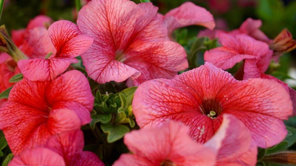Μεγάλα ρόδινα άνθη πετούνιας, που δεν αντέχει στον δυνατό αέρα και μπορεί να ζήσει σε εσωτερική πολύ φωτεινή θέση.