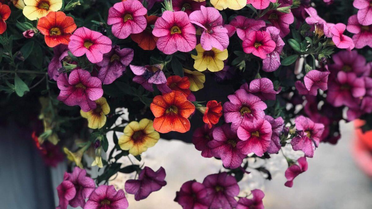 Πετούνιες: χρώμα και άρωμα παντού!