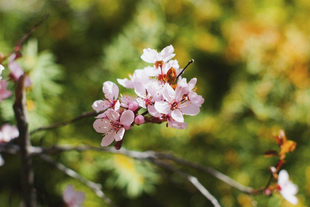 Η άνθηση ξεκινά με την έναρξη της νέας βλάστησης και προοδεύει με την έκπτυξη των φύλλων και τη σταδιακή πλήρη ανάπτυξή τους.