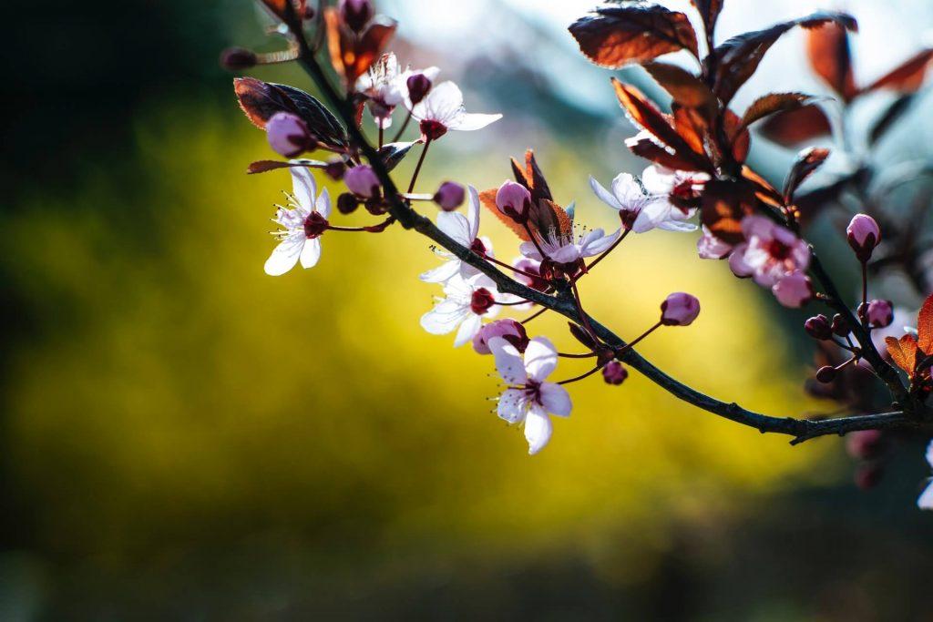 Τα μπουμπούκια έχουν πιο έντονο ροζ χρώμα από τα ανοιγμένα άνθη.