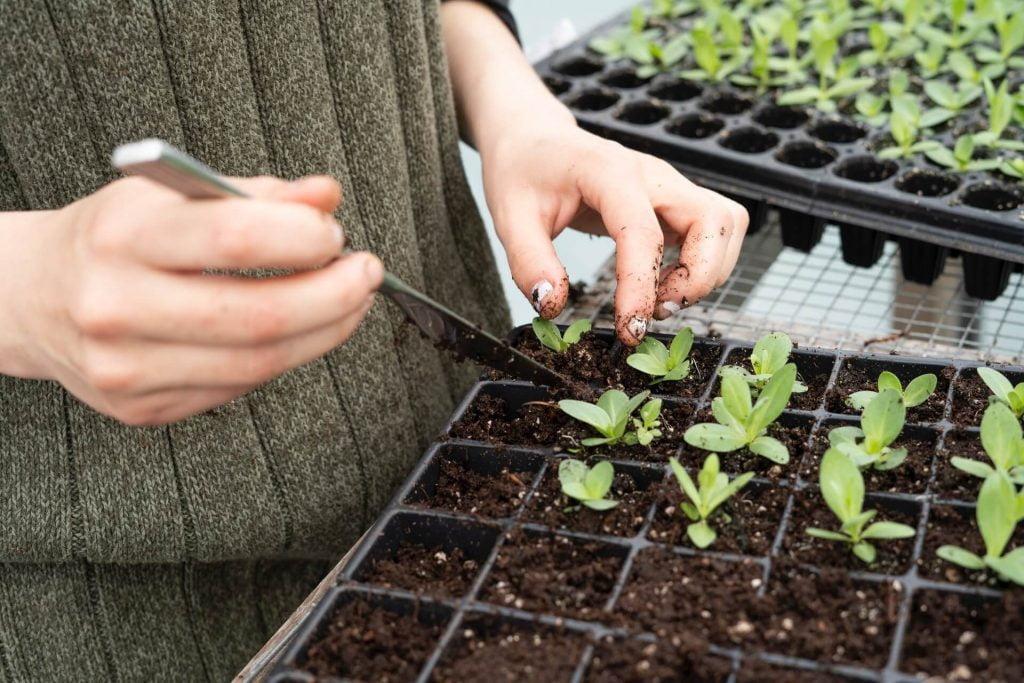 Βγάλτε με προσοχή τα σπορόφυτα που έχετε δημιουργήσει οι ίδιοι από σπορά τέλη χειμώνα ή αρχές άνοιξης, ώστε να τα φυτέψετε σε γλάστρες με φρέσκο χώμα ή σε ψιλοχωματισμένο παρτέρι.