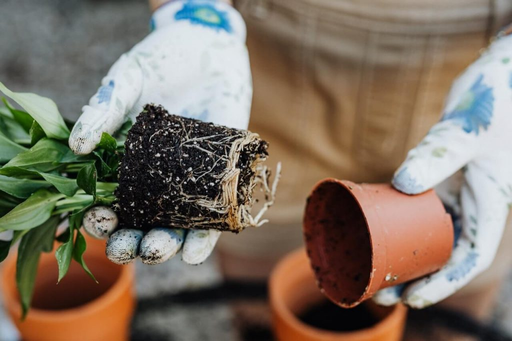 Τον Απρίλιο φυτέψτε τα χωρισμένα τμήματα του σπαθίφυλλου σε μικρές γλάστρες.
