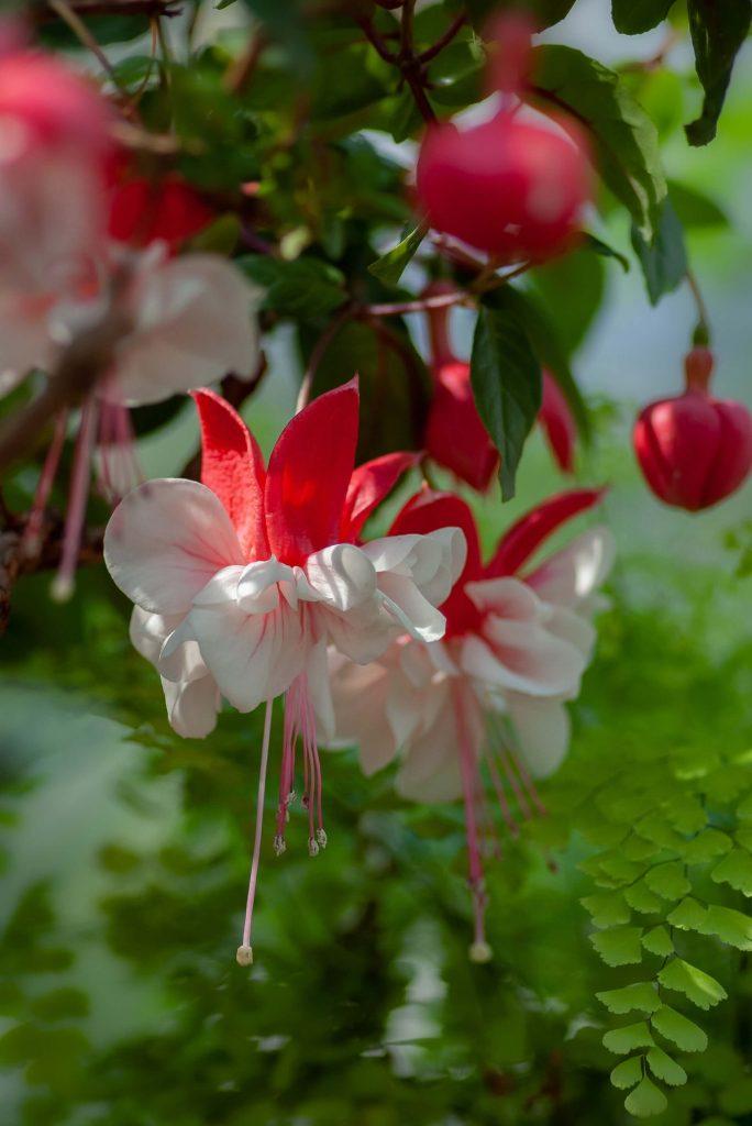 Η φούξια με τα χρόνια εξελίχθηκε και οι ειδικοί δημιούργησαν ακόμα πιο εντυπωσιακά άνθη.