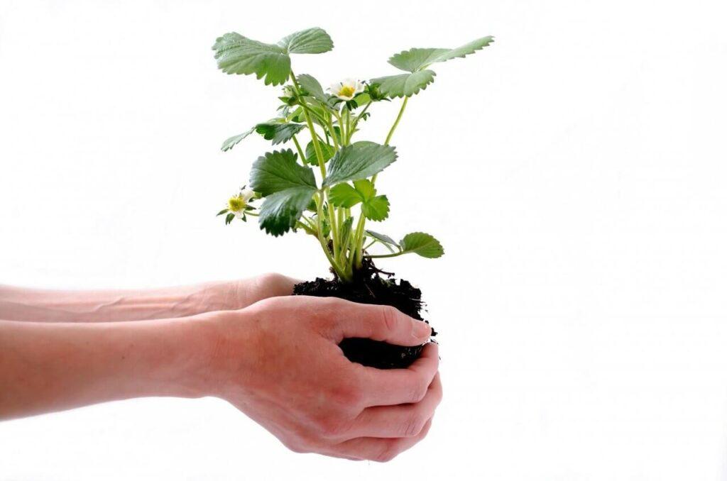 Με προσοχή και χωρίς να σκορπίσετε τη μπάλα χώματος με τις ρίζες, μεταφυτέψτε τη νεαρή φραουλιά σας. Εκτός από όμορφα φύλλα, σίγουρα θα έχει και λίγα άνθη, τα οποία μπορεί να δώσουν φράουλες στη δικιά σας γλάστρα.