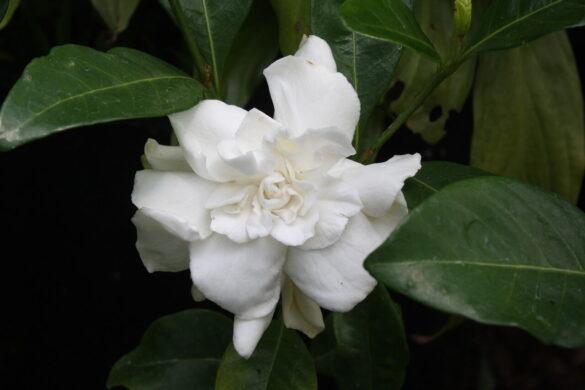 gardenia 6 1
