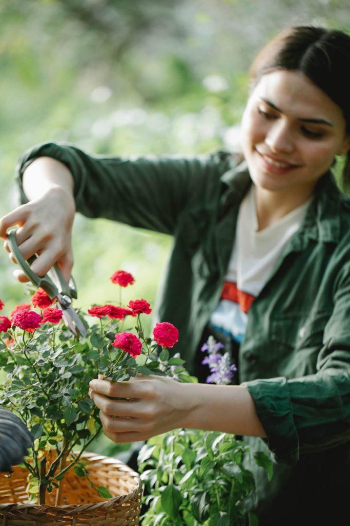 Καθαρίζετε το φυτό σας από υπερώριμα άνθη, από ξερά ή κίτρινα φύλλα, καθώς και από αδύνατους βλαστούς.