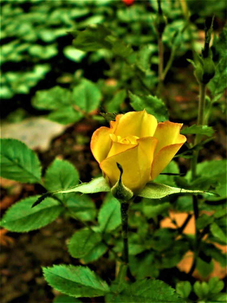 Οι τριανταφυλλιές μινιατούρες που έχουν αναπτυχθεί και κυρίως εκείνες με τα μεγάλα άνθη μπορούν να ζήσουν σε προστατευμένες θέσεις του κήπου.