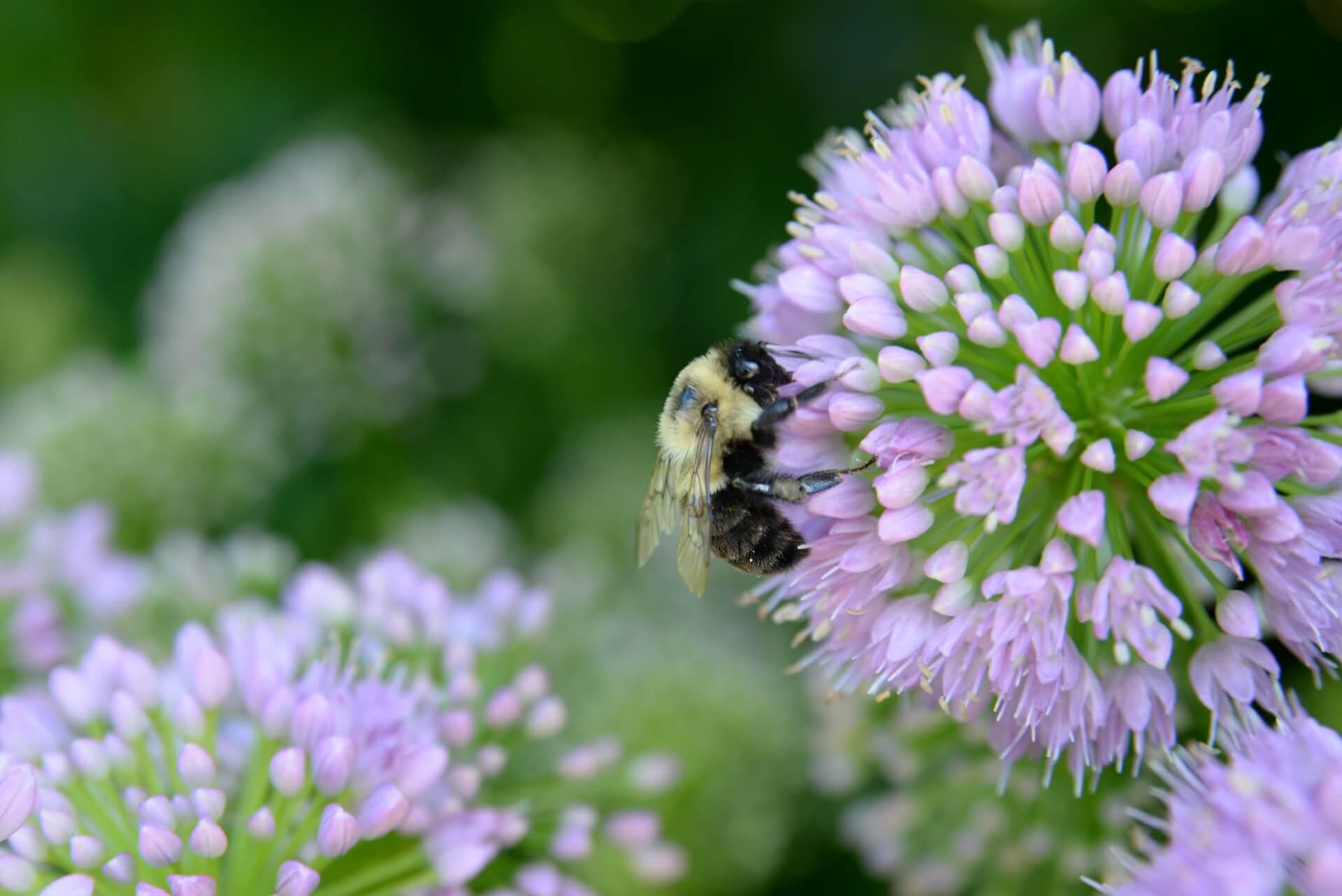 Εκτός από τις φυτοπροστατευτικές ιδιότητες του σκόρδου, τα λουλούδια του, όπως και εκείνα του κρεμμυδιού, προσελκύουν έντονα τις μέλισσες και άλλους σημαντικούς επικονιαστές, ώστε να ενισχυθεί η παραγωγή των φυτών σας.