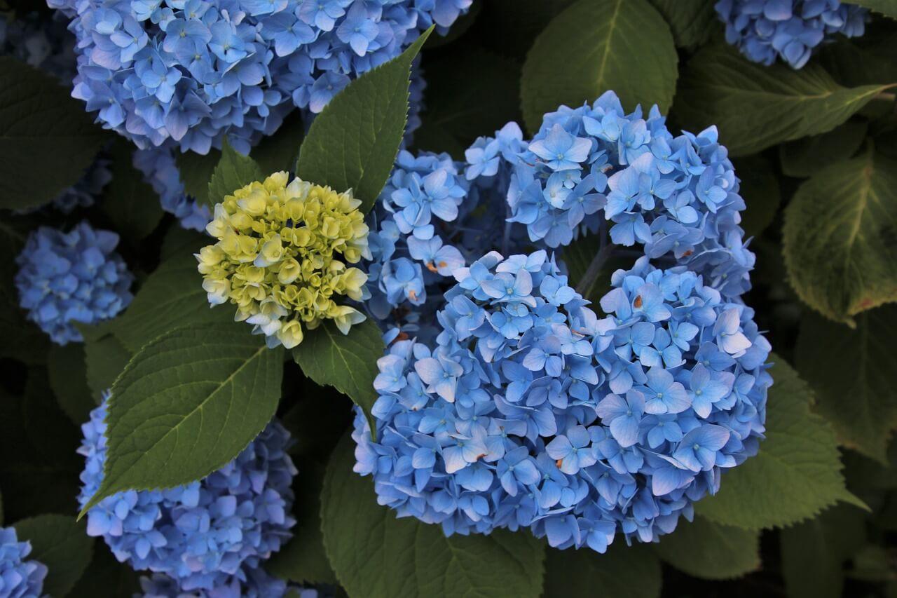 Το οργανικό λίπασμα με αλουμίνιο διατηρεί το μπλε χρώμα στα άνθη.