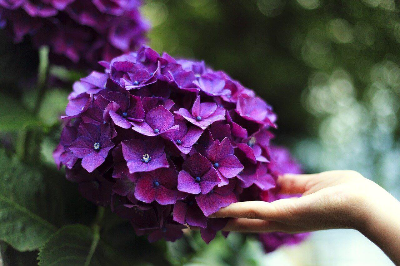 Χρησιμοποιήστε τις κατάλληλες δοσολογίες ανά εποχή, σύμφωνα με τις οδηγίες του οργανικού λιπάσματος με αλουμίνιο, ώστε να αλλάξετε τους ρόδινους και ροζ-κόκκινους τόνους, σε βιολέ ή λιλά χρώμα.
