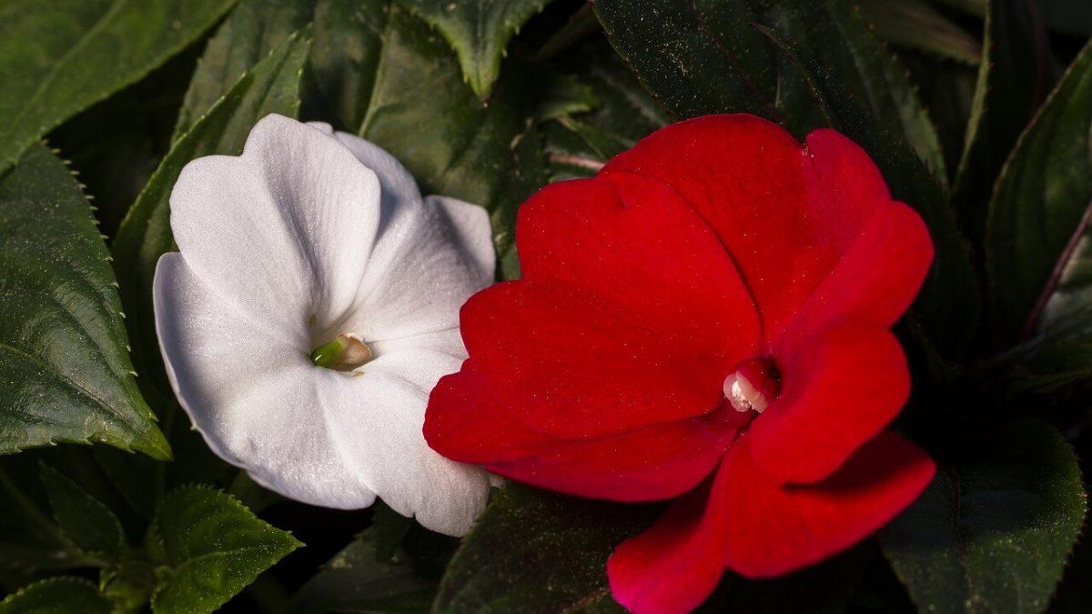 """""""Ανυπόμονα"""" Ιμπάτιενς: Τα φυτά του έρωτα ανθίζουν στις γλάστρες σας!"""