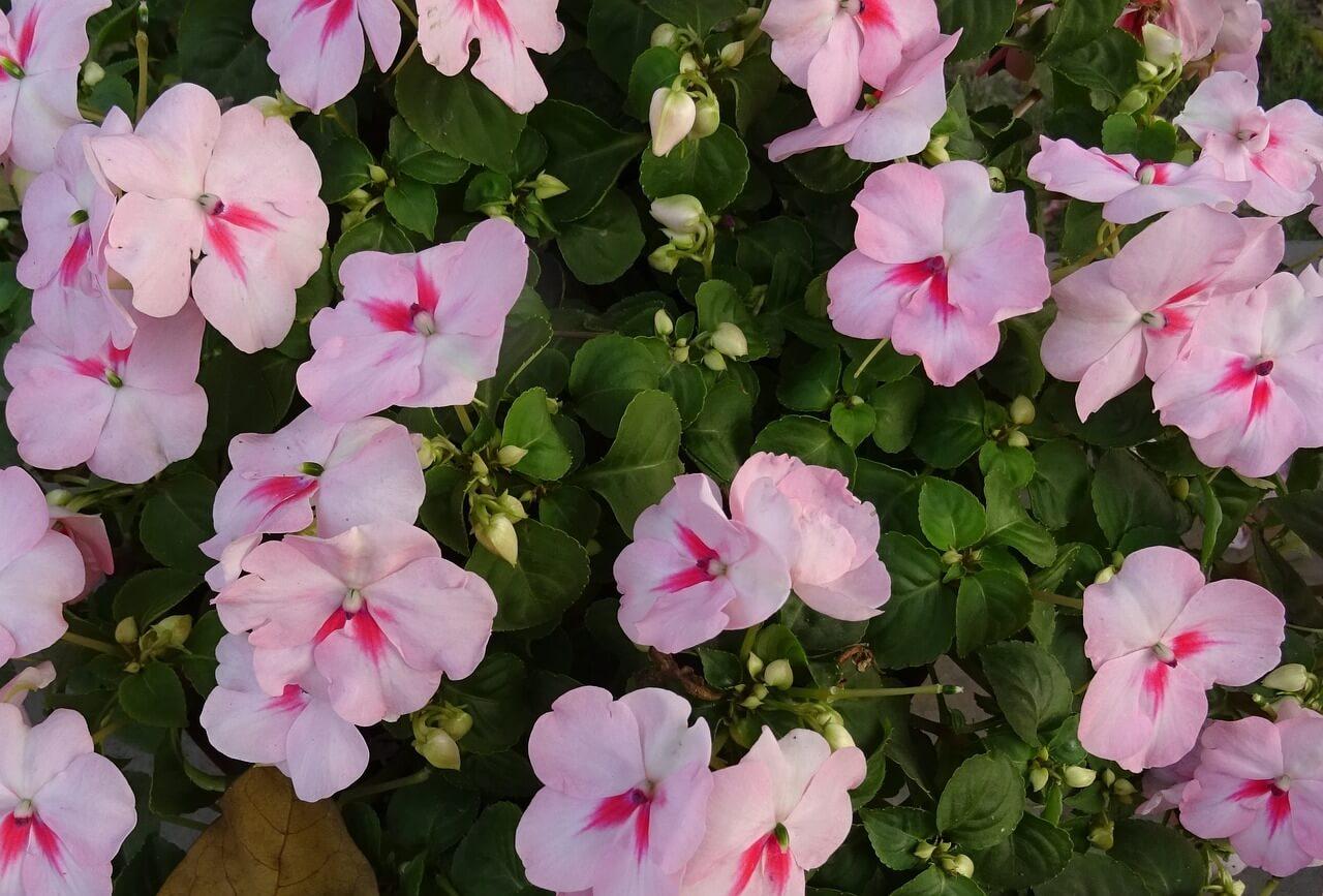 Το Impatiens walleriana, η γνωστή ως δραστήρια Λίζα, σε μια ποικιλία με πρωτότυπα άνθη.