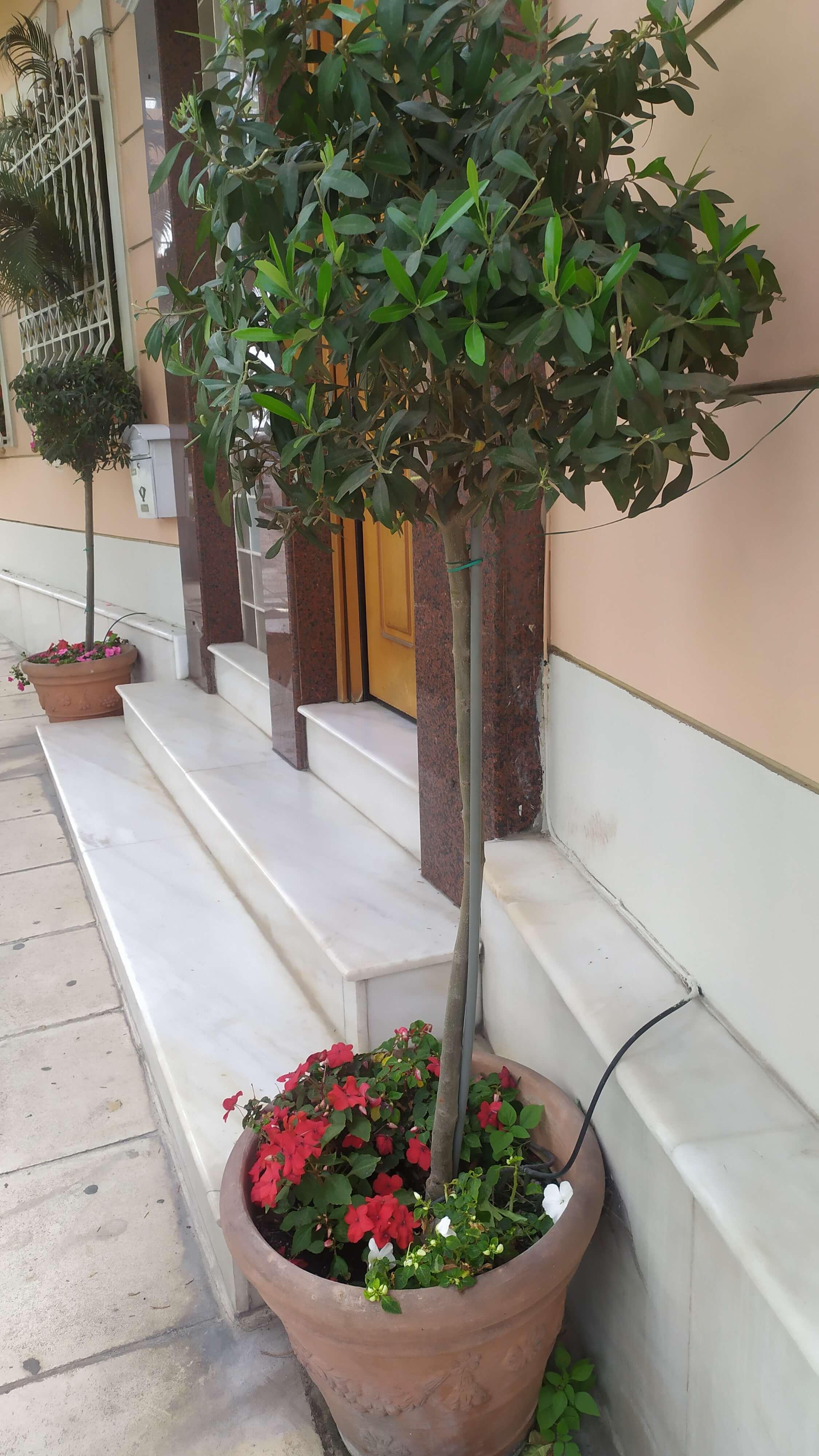 Καλύψτε με ιμπάτιενς  το κενό της γλάστρας, όπου καλλιεργείτε ένα μεγάλο φυτό με κεντρικό στέλεχος.