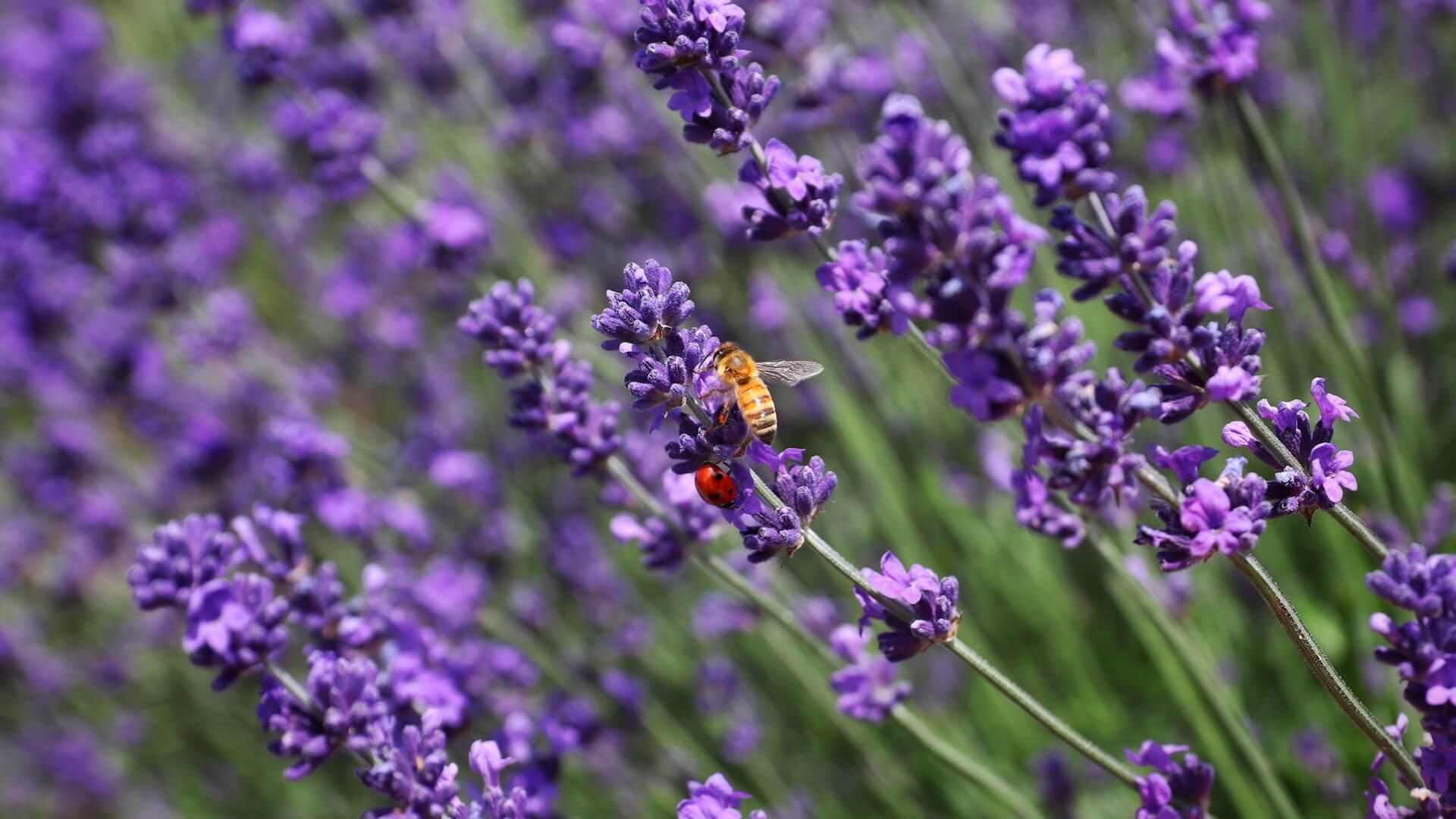 Η λεβάντα είναι και μελισσοκομικό φυτό.