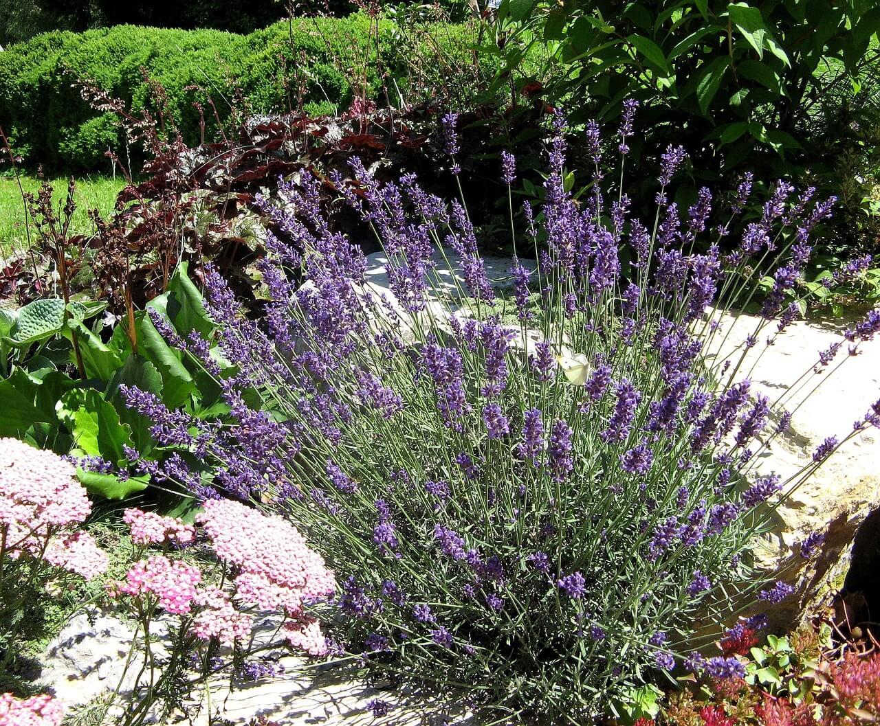Οι χαμηλές ποικιλίες της λεβάντας ταιριάζουν άψογα σε παρτέρι με οποιαδήποτε ανθοφόρα φυτά παρόμοιου ύψους και είναι ιδανικές για βραχόκηπο.
