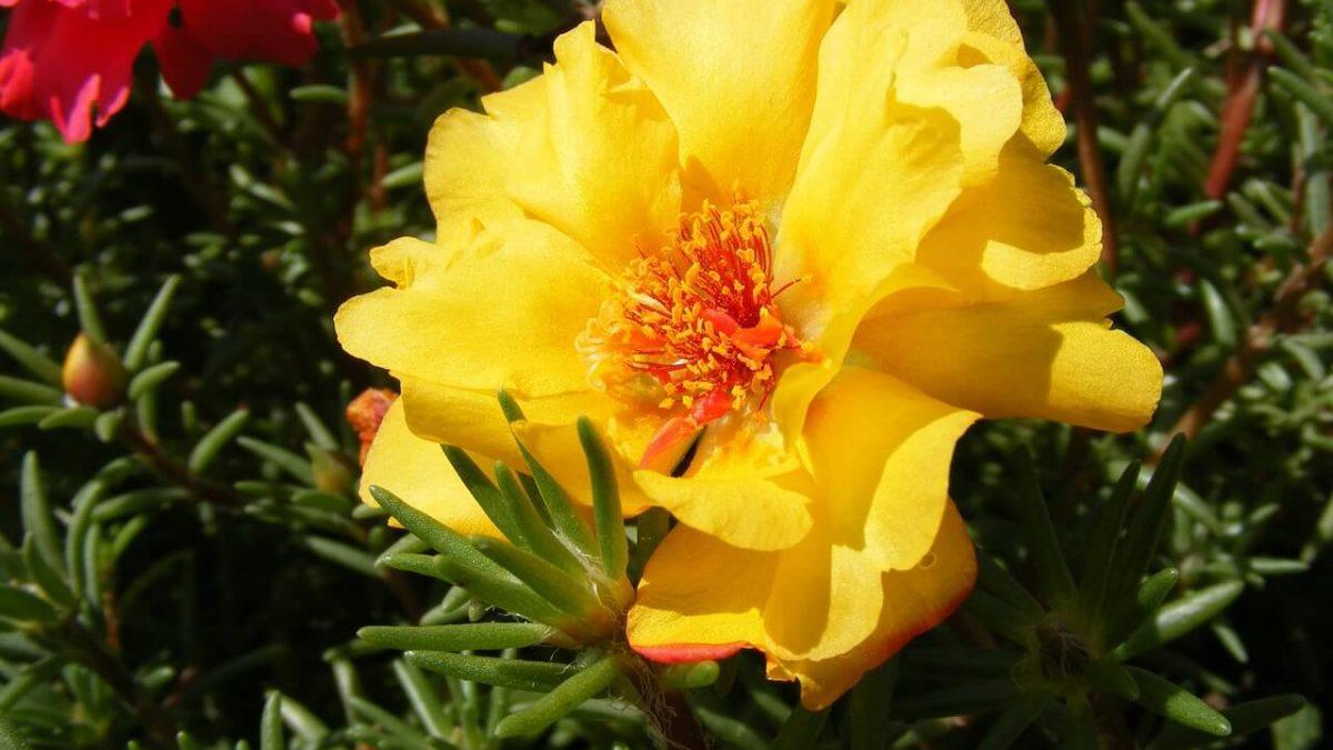 Πορτουλάκα: Απλώστε τη στον κήπο και κρεμάστε τη στη βεράντα