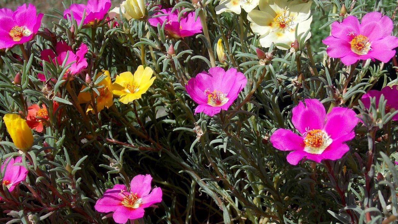Η πορτουλάκα θεωρείται ιδανικό φυτό εδαφοκάλυψης, ακόμα και για επιφάνεια με κάποια κλίση, όπου συγκρατεί το χώμα και συγχρόνως ομορφαίνει τον χώρο για πολλούς μήνες.