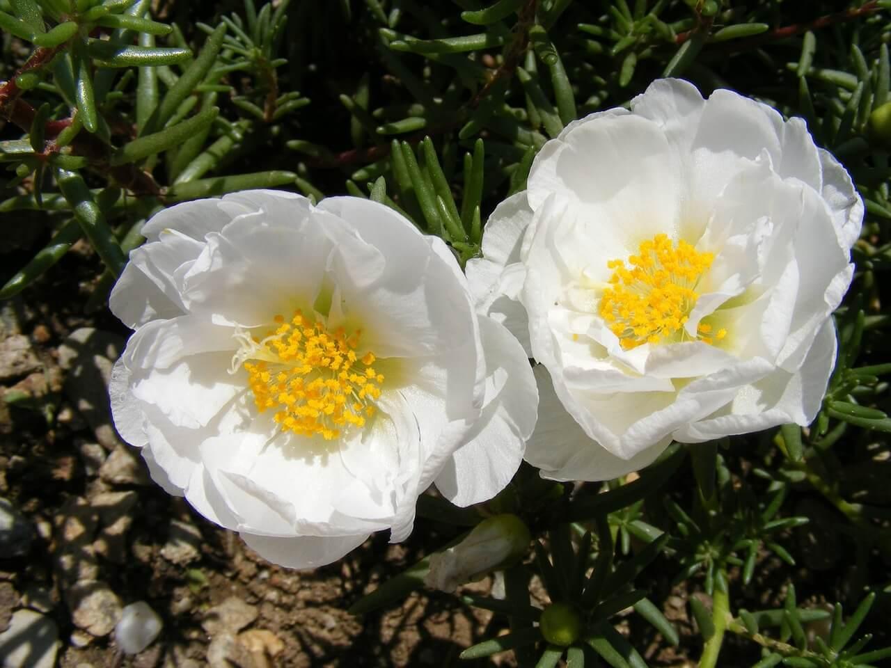 Το λευκό χρώμα στα πέταλα της πορτουλάκας και μάλιστα σε διπλή σειρά πετάλων, φωτίζει το πράσινο φόντο της βλάστησης.