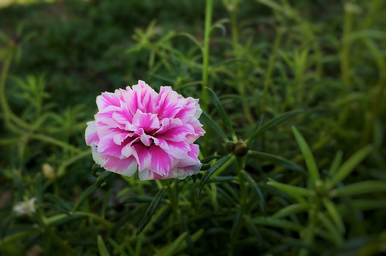 Η συγκεκριμένη πορτουλάκα, το μεταξάκι του κήπου και της βεράντας, διαθέτει ποικιλίες που θυμίζουν μίνι τριανταφυλλιές και μάλιστα, ορισμένες έχουν πέταλα με πρωτότυπες αποχρώσεις.