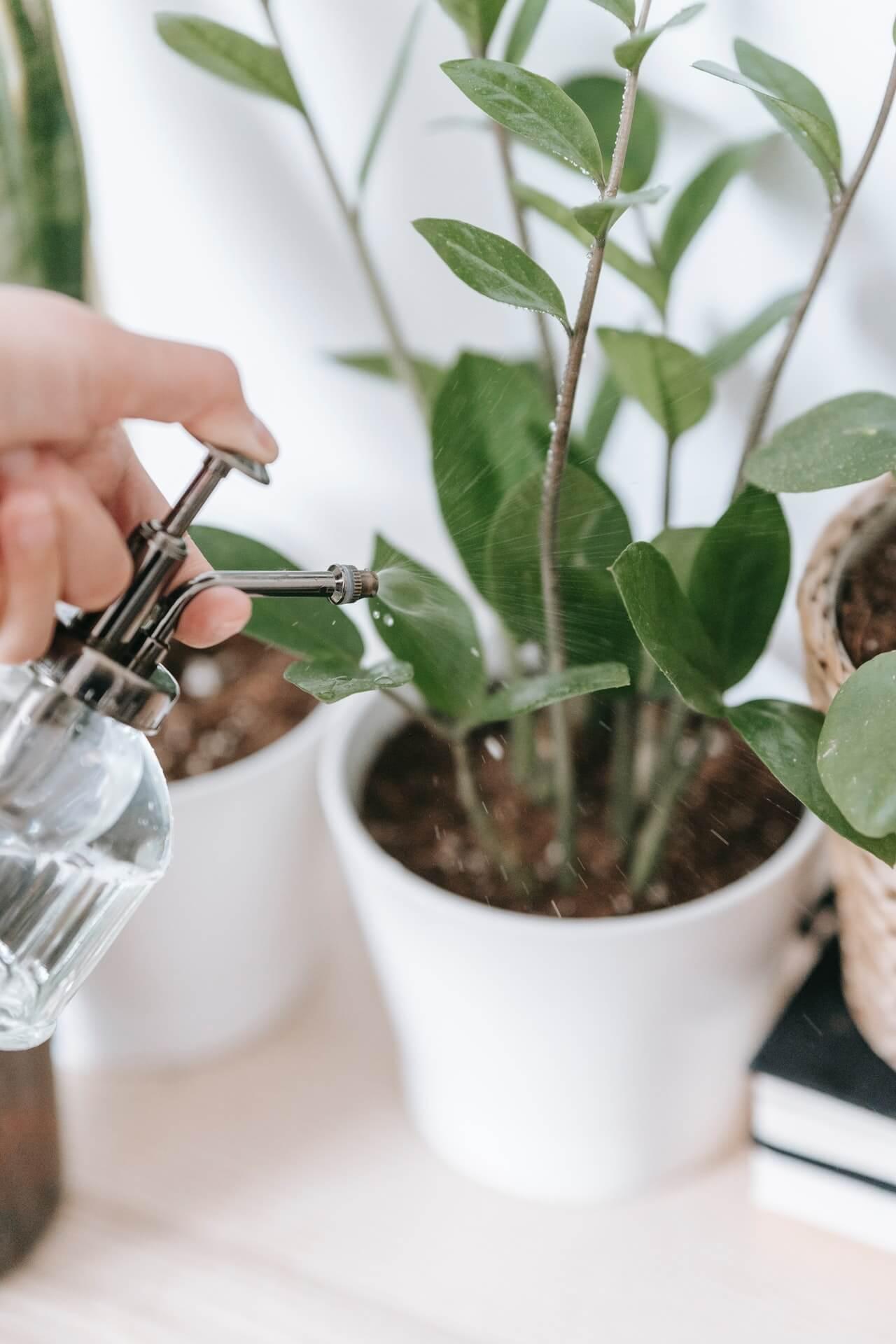 Ποτίζετε με προσοχή τα φυτά του σπιτιού και δροσίζετε με καθαρό νερό τη βλάστησή τους, χωρίς υπερβολές.