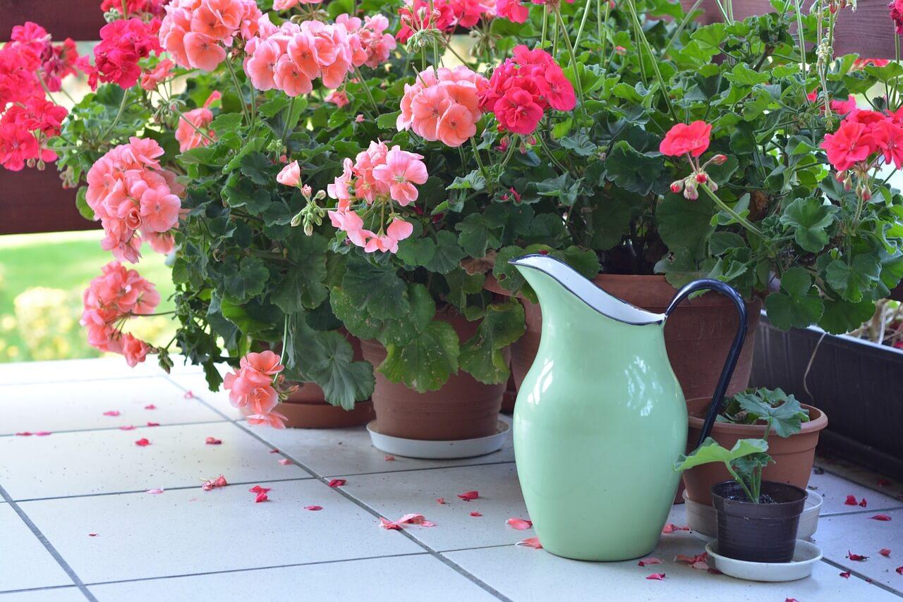 Μπορεί τα μικρά γερανάκια να κρύβονται από τα ανεπτυγμένα φυτά.  Όμως, με προσεχτικό πότισμα και τις απαραίτητες μεταφυτεύσεις θα μεγαλώσουν και γρήγορα θα τα συναγωνιστούν.