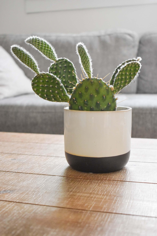 Μια μικρή φραγκοσυκιά γίνεται ένα πρωτότυπο φυτό εσωτερικού χώρου, σε φωτεινή θέση και με πολύ προσεχτικό, αραιό και ελαφρύ πότισμα.
