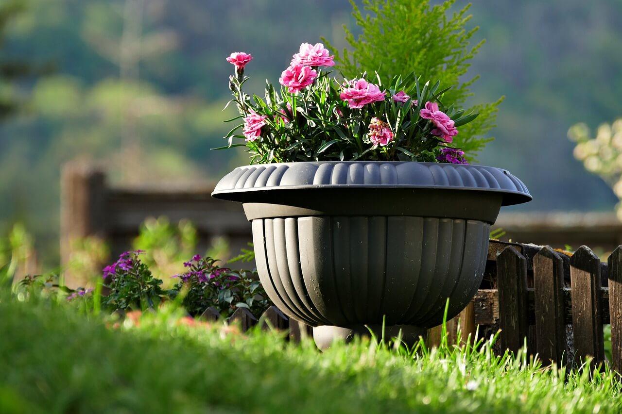 Επιλέξτε μια γαρυφαλλιά με μικρό ύψος σε διακοσμητικό δοχείο, για το δάπεδο του κήπου ή του εξώστη.