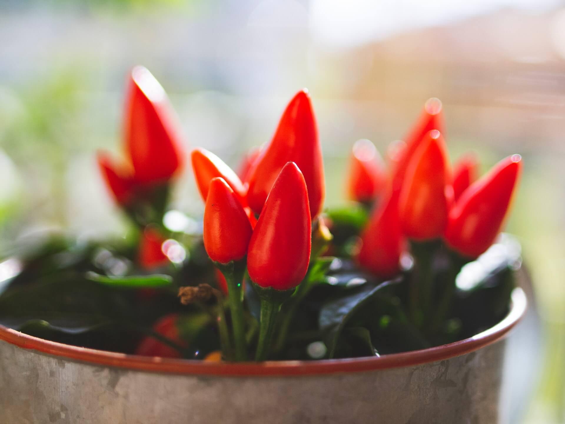 Η εποχιακή καλλωπιστική πιπεριά με τους κατακόκκινους καρπούς είναι πολύ δημοφιλής.