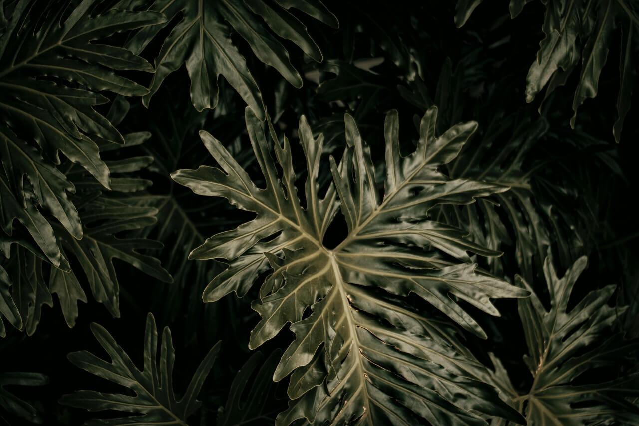Προσέξτε τη διαφορά: Το φιλόδενδρο δεν έχει ακέραια φύλλα. Βγάζει πάντα βαθιά σχισμένα φύλλα.