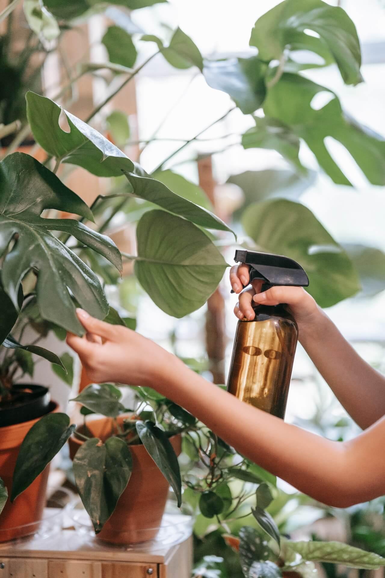 Ψεκάζετε τακτικά με καθαρό νερό τα φύλλα της, ειδικά όταν είναι σε νεαρή ηλικία.