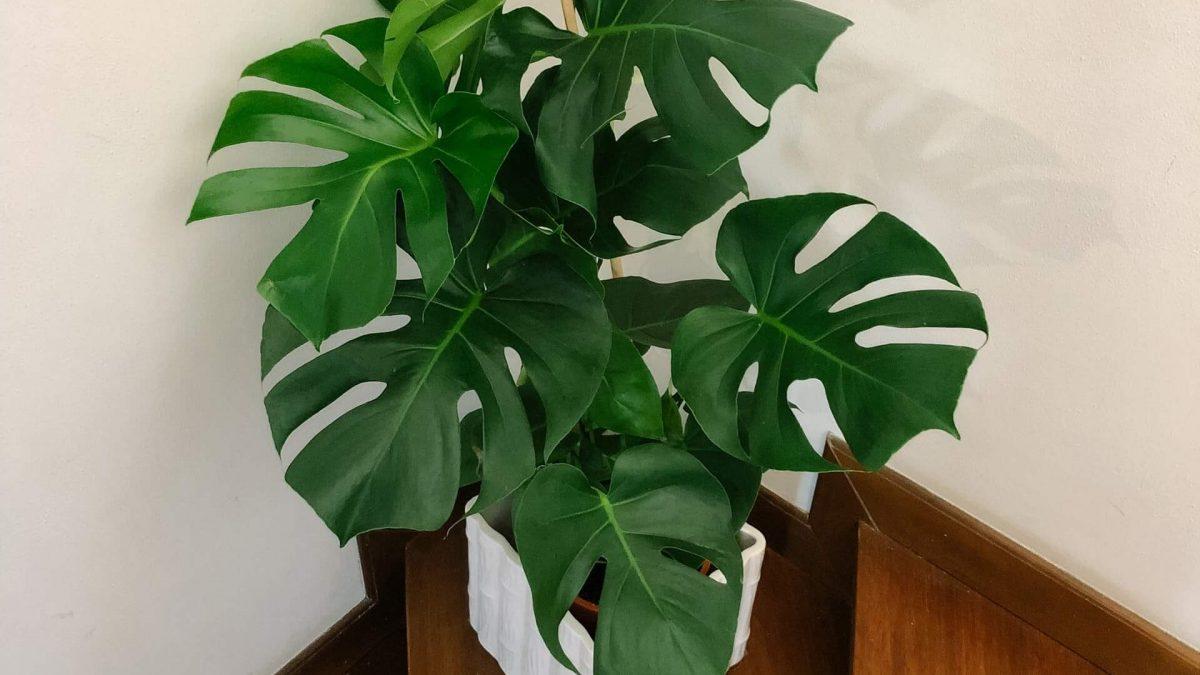 """Μονστέρα, ένα """"εύκολο"""" φυτό στο σπίτι σας"""
